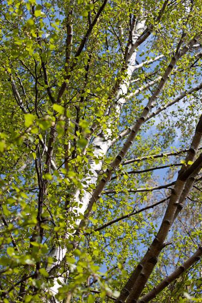 Björk på våren