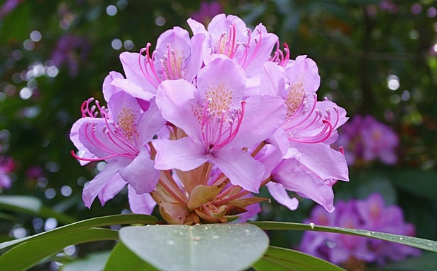 ljuslila_rododendron_i_botaniska_traedga