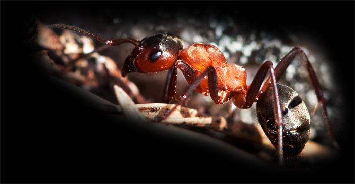 Närbild på myra