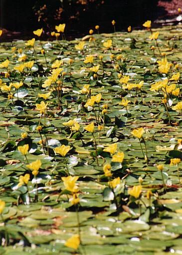 En skog av gula vattenblommor