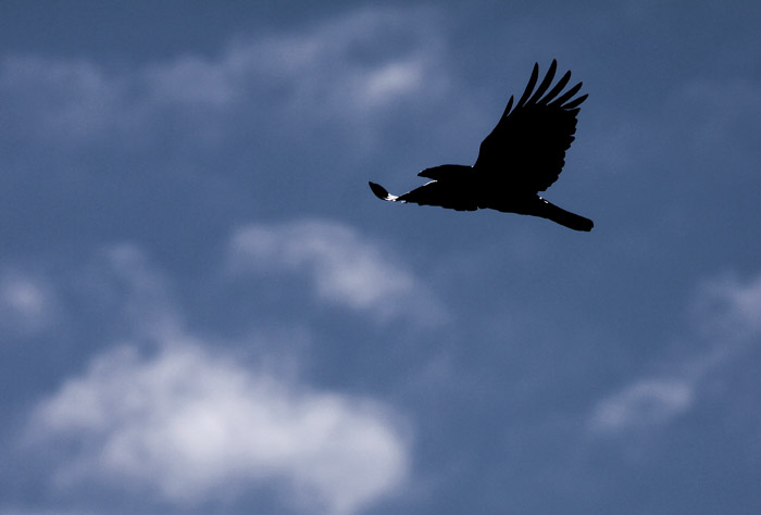 Flygande kråka