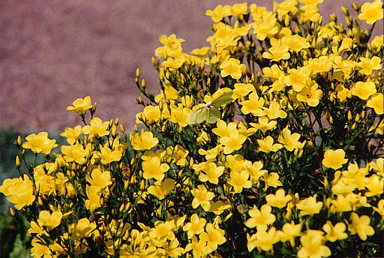 En fjäril bland gula blommor