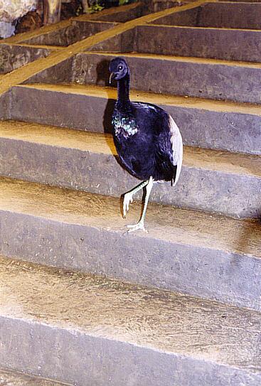 Höna i trappan